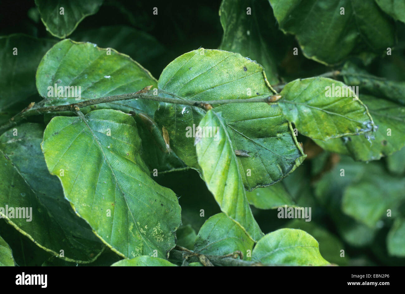 Woolly beech aphid (Phyllaphis fagi), damage of beech leaves, Germany - Stock Image