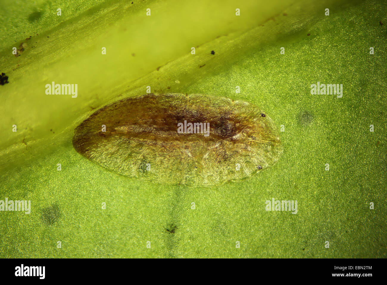 scale insect (Coccoidea), scale insect at a plant - Stock Image