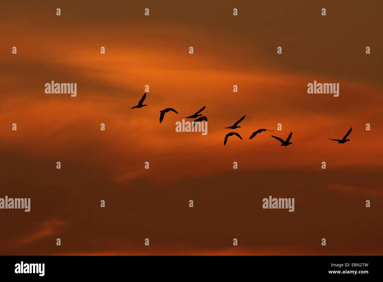 greylag goose (Anser anser), migratory birds at the morning sky in October, Germany Stock Photo