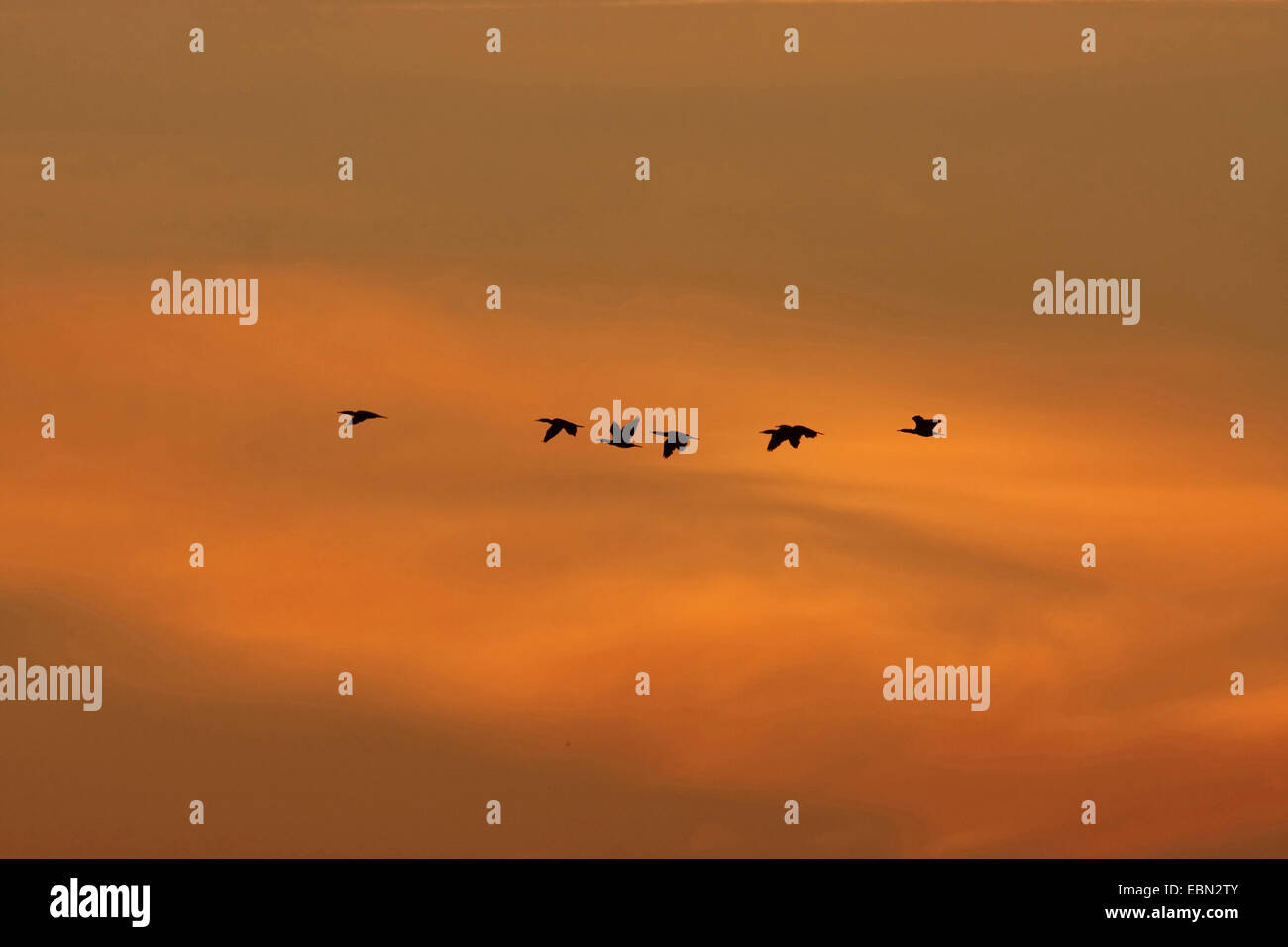 greylag goose (Anser anser), migratory birds at the morning sky in October, Germany - Stock Image