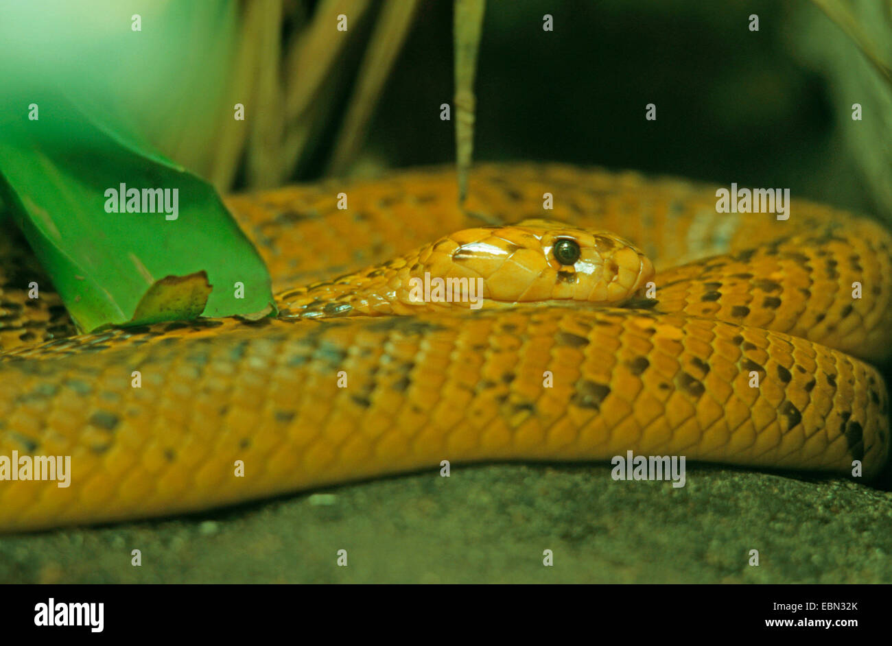 Cape cobra, yellow cobra (Naja nivea), resting - Stock Image
