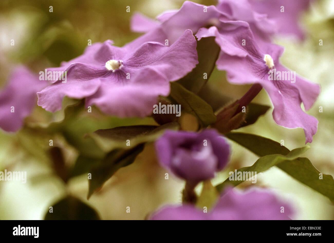 Brazil Raintree (Brunfelsia pauciflora var. calycina), blooming - Stock Image