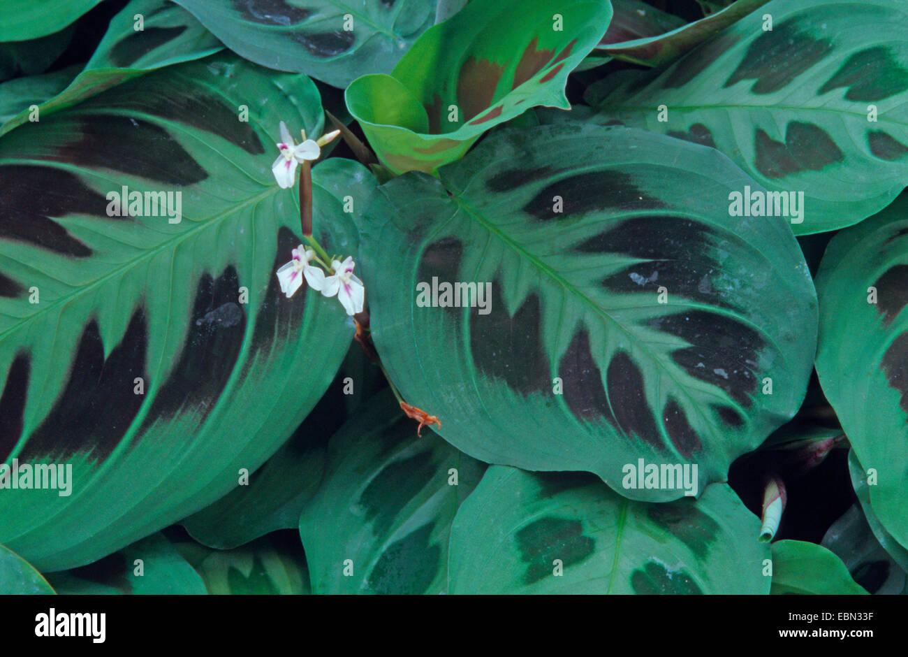 Prayer Plant (Maranta leuconeura), leaves Stock Photo