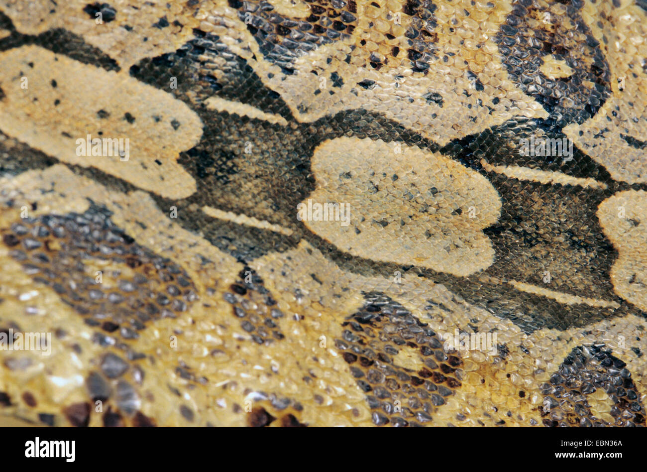 Red-tailed Boa (Boa constrictor), skin - Stock Image
