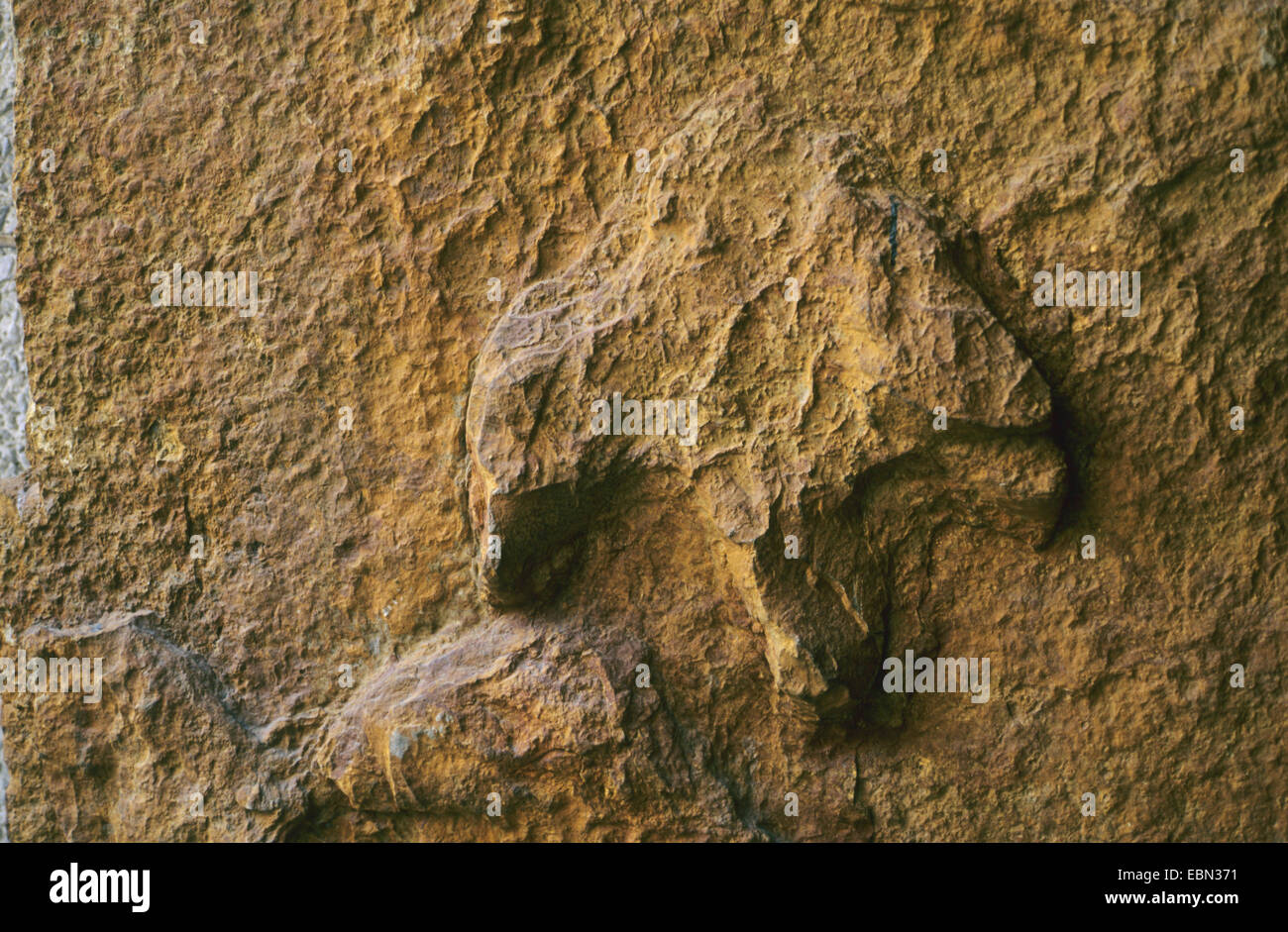 fossilized tracks of an Iguanodon from the Cretaceous, Germany, Lower Saxony, Oberkirchen - Stock Image