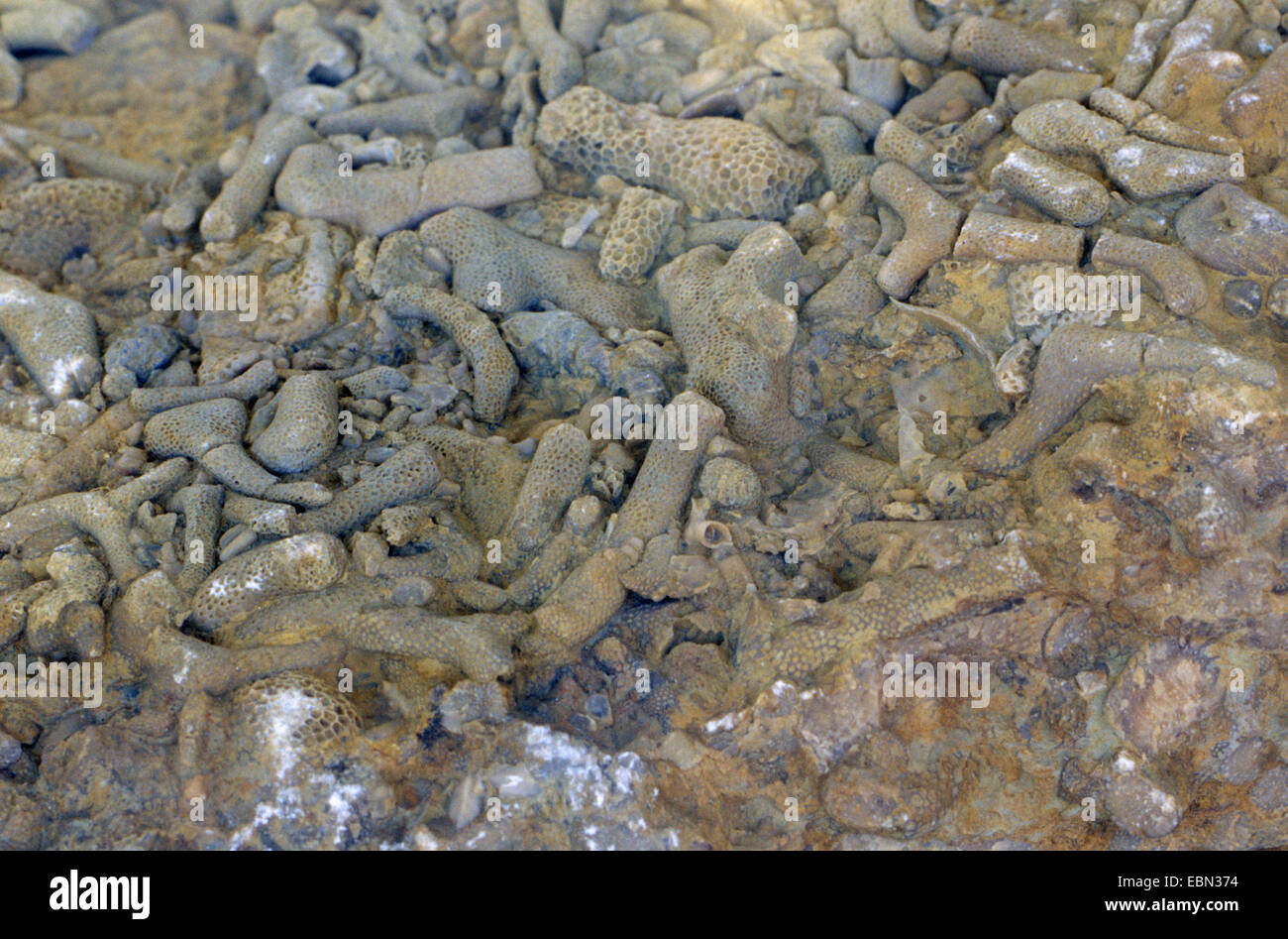 brachiopods and sea lilies - Stock Image