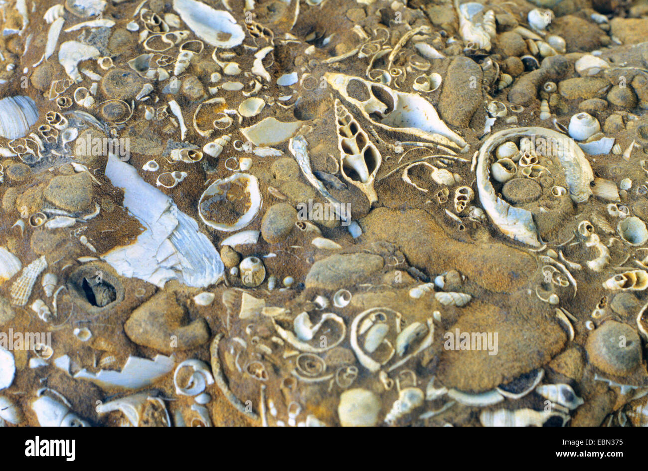 shells of molluscs from the Early Miocene, Germany, Schleswig-Holstein - Stock Image