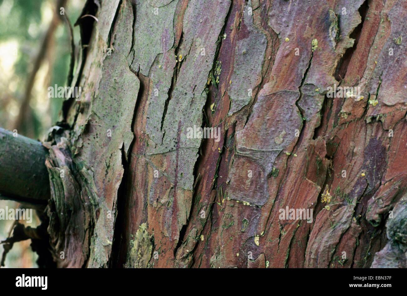 Weeping Yellow-cedar (Cupressus nootkatensis 'Pendula', Cupressus nootkatensis Pendula, Chamaecyparis nootkatensis - Stock Image