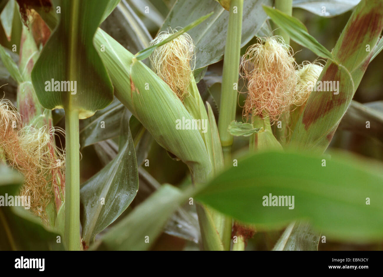 Indian corn, maize (Zea mays), blooming female inflorescence, Germany - Stock Image