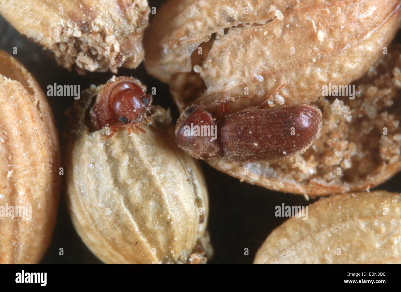 drugstore beetle, drug store weevil, biscuit beetle, bread beetle (Stegobium paniceum), beetles at coriander seed - Stock Image