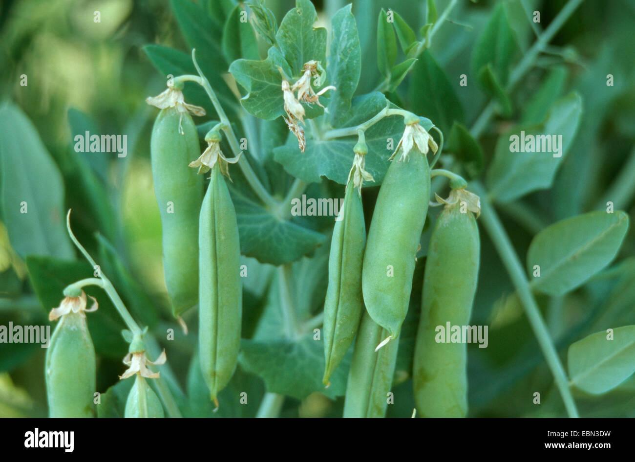 garden pea (Pisum sativum ssp. sativum), fruits - Stock Image