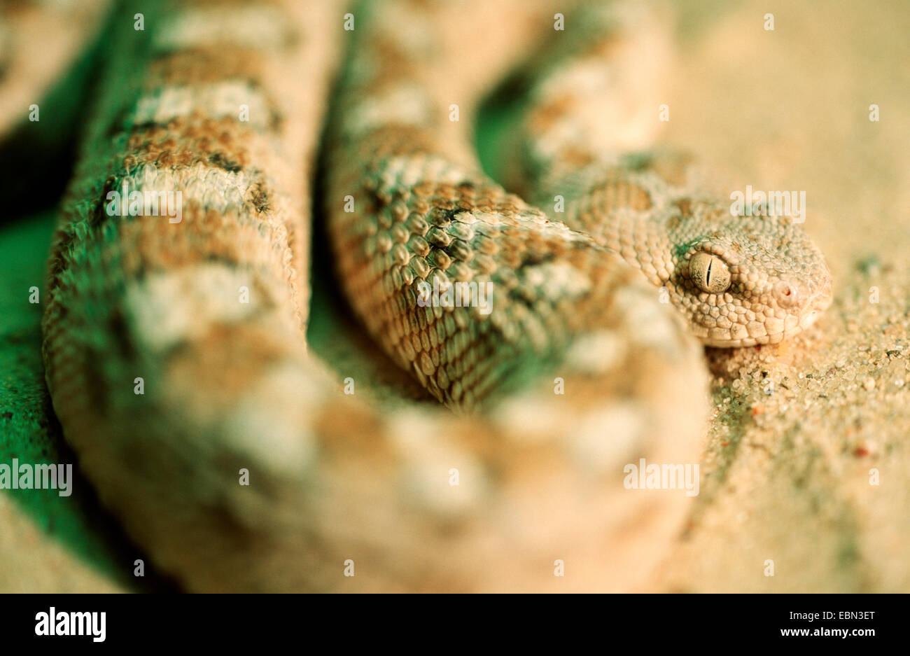 Arabic saw-scaled viper, Palestine saw-scaled viper (Echis coloratus), closeup in the sand, of one of the most dangerous - Stock Image