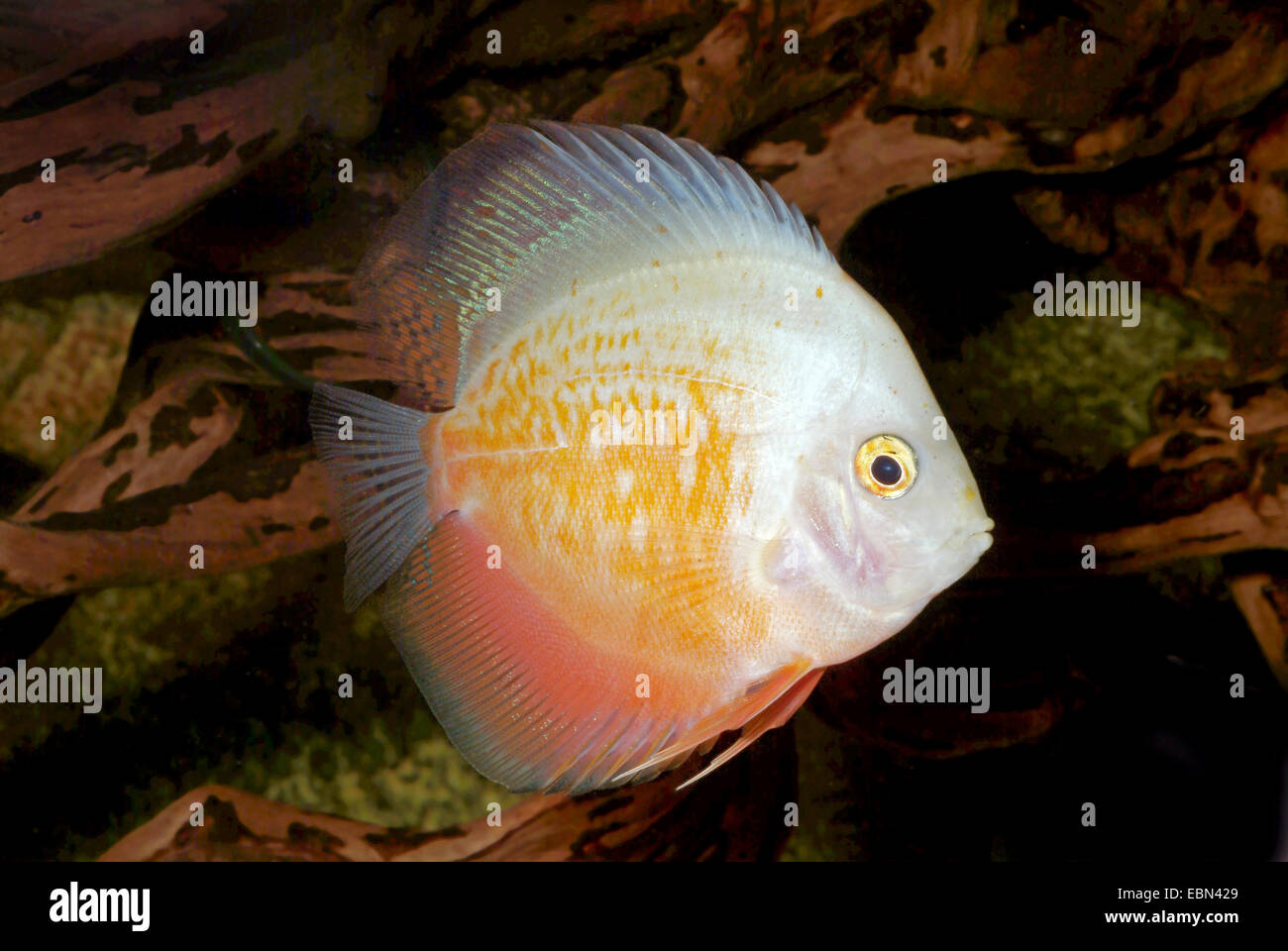 Blue discus (Symphysodon aequifasciatus), breed White and Gold - Stock Image
