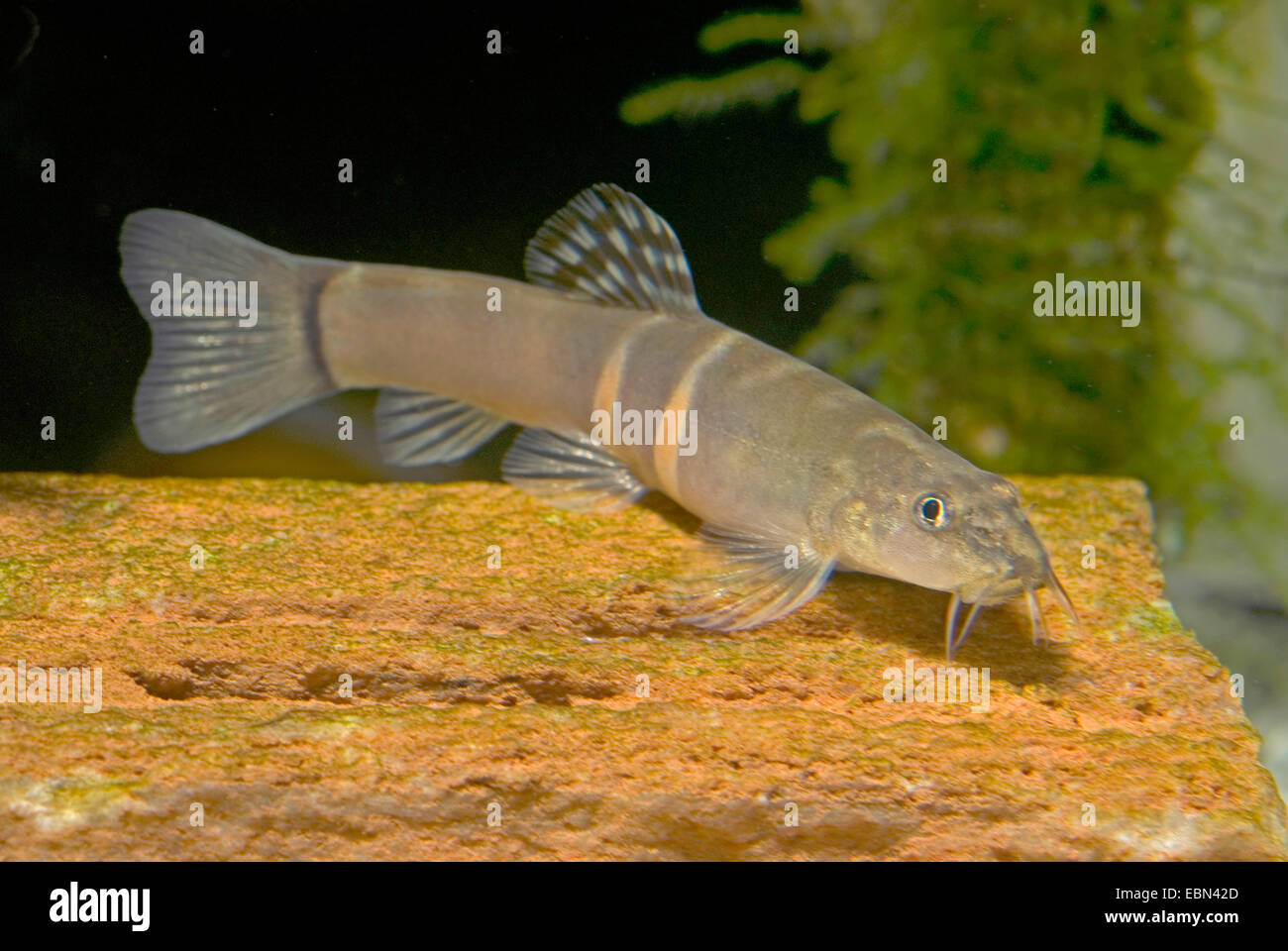 Sumu loach (Schistura balteata), on the ground - Stock Image