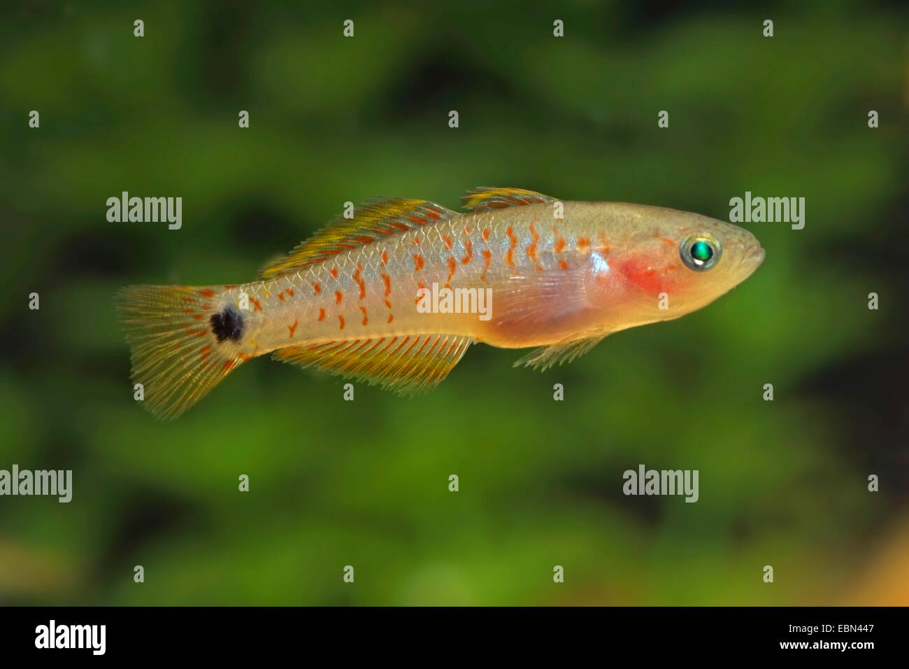Eye-spot sleeper, Peacock gudgeon, Peacock goby (Tateurndina ocellicauda), swimming - Stock Image