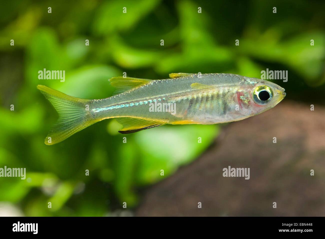 Celebes Sunrayfish, Celebes Rainbowfish (Telmatherina ladigesi), swimming - Stock Image