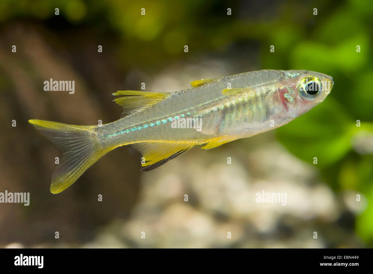 Celebes Rainbowfish High Resolution Stock Photography And Images Alamy