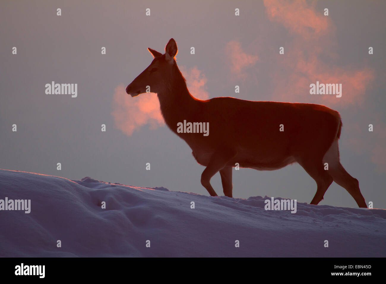 red deer (Cervus elaphus), hind walking up a snow-covered slope at sunset, Austria, Vorarlberg - Stock Image