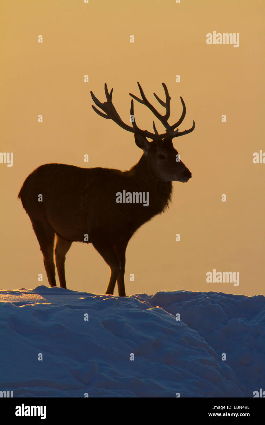 red deer (Cervus elaphus), bull standing on a snow-covered slope at sunset, Austria, Vorarlberg - Stock Image