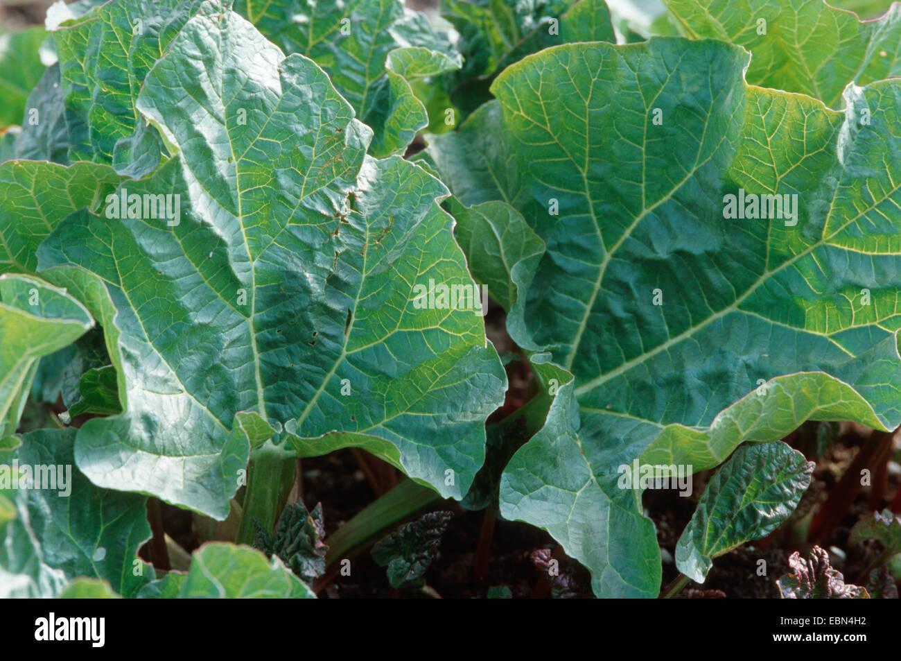 rhubarb (Rheum rhaponticum, Rheum rhabarbarum), leaves - Stock Image