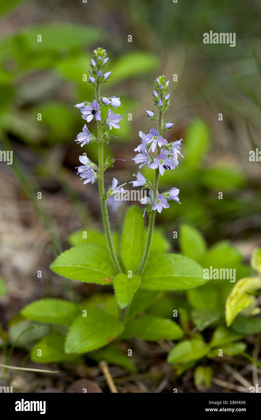 Common speedwell, Heath speedwell, Gypsy-weed (Veronica officinalis), blooming, Germany - Stock Image