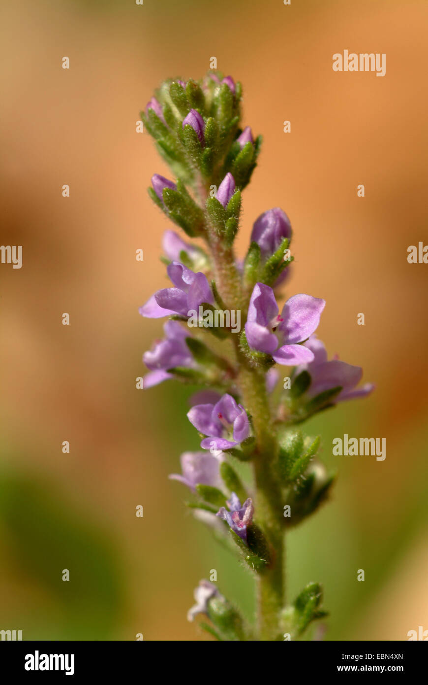 Common speedwell, Heath speedwell, Gypsy-weed (Veronica officinalis), inflorescence, Germany - Stock Image