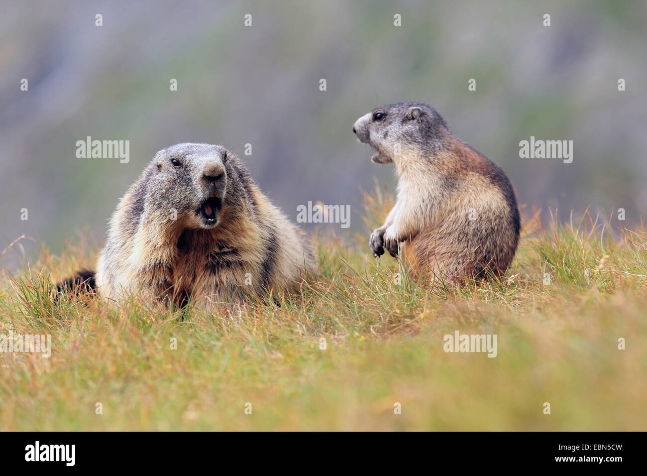alpine marmot (Marmota marmota), old and young sitting together on grass , Austria, Hohe Tauern National Park - Stock Image