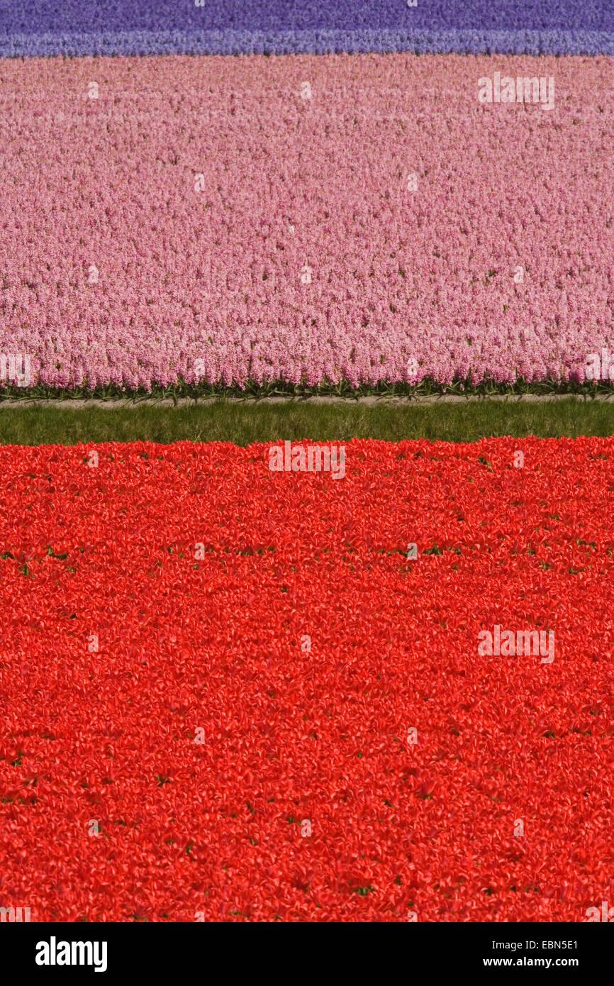 common garden tulip (Tulipa gesneriana), Field of tulips and hyacinths at Keukenhof, Netherlands, Lisse Stock Photo