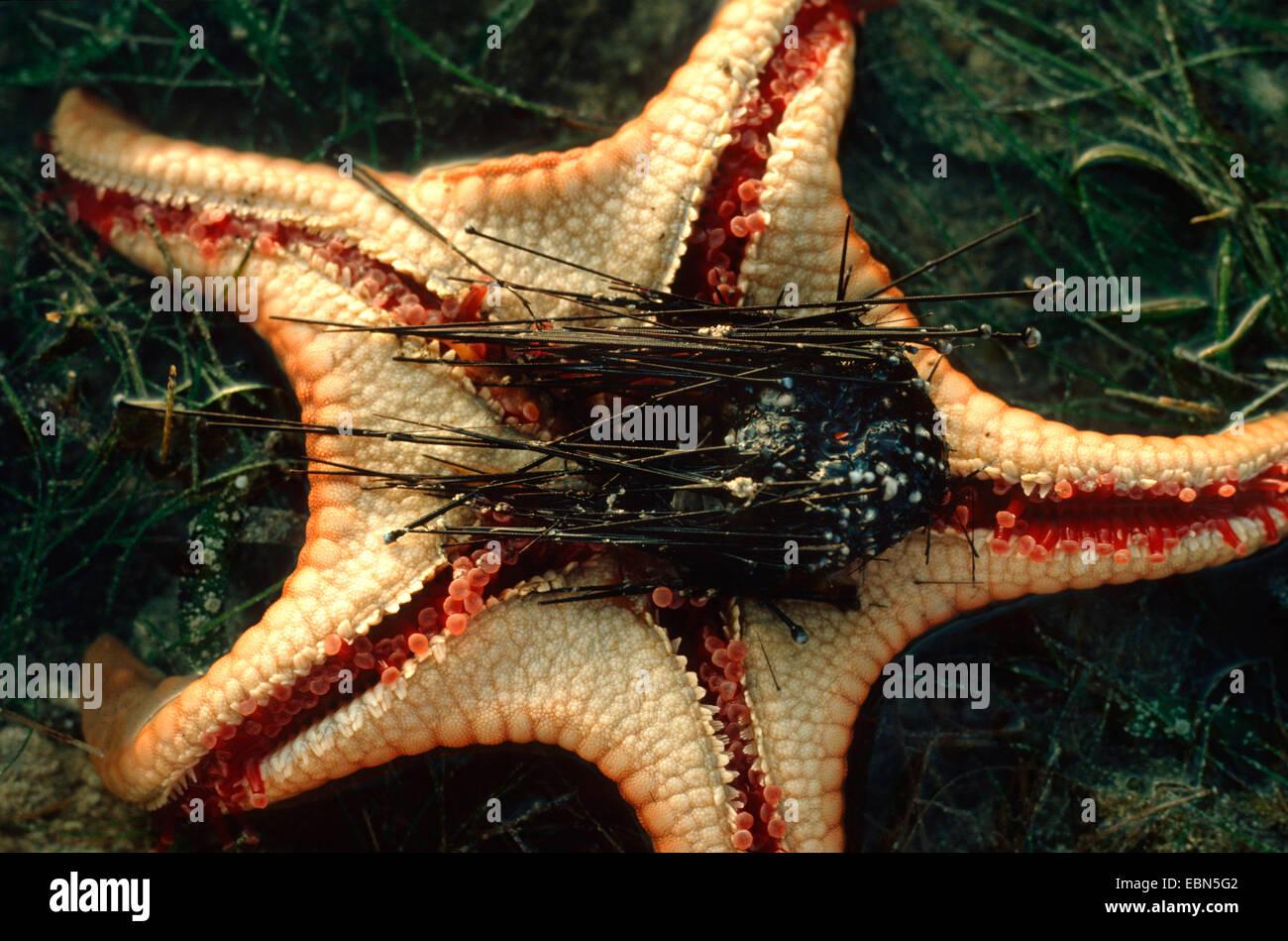 cushion stars (Oreasteridae), underside with the remains of an eaten sea urchin, Indopazifik Stock Photo