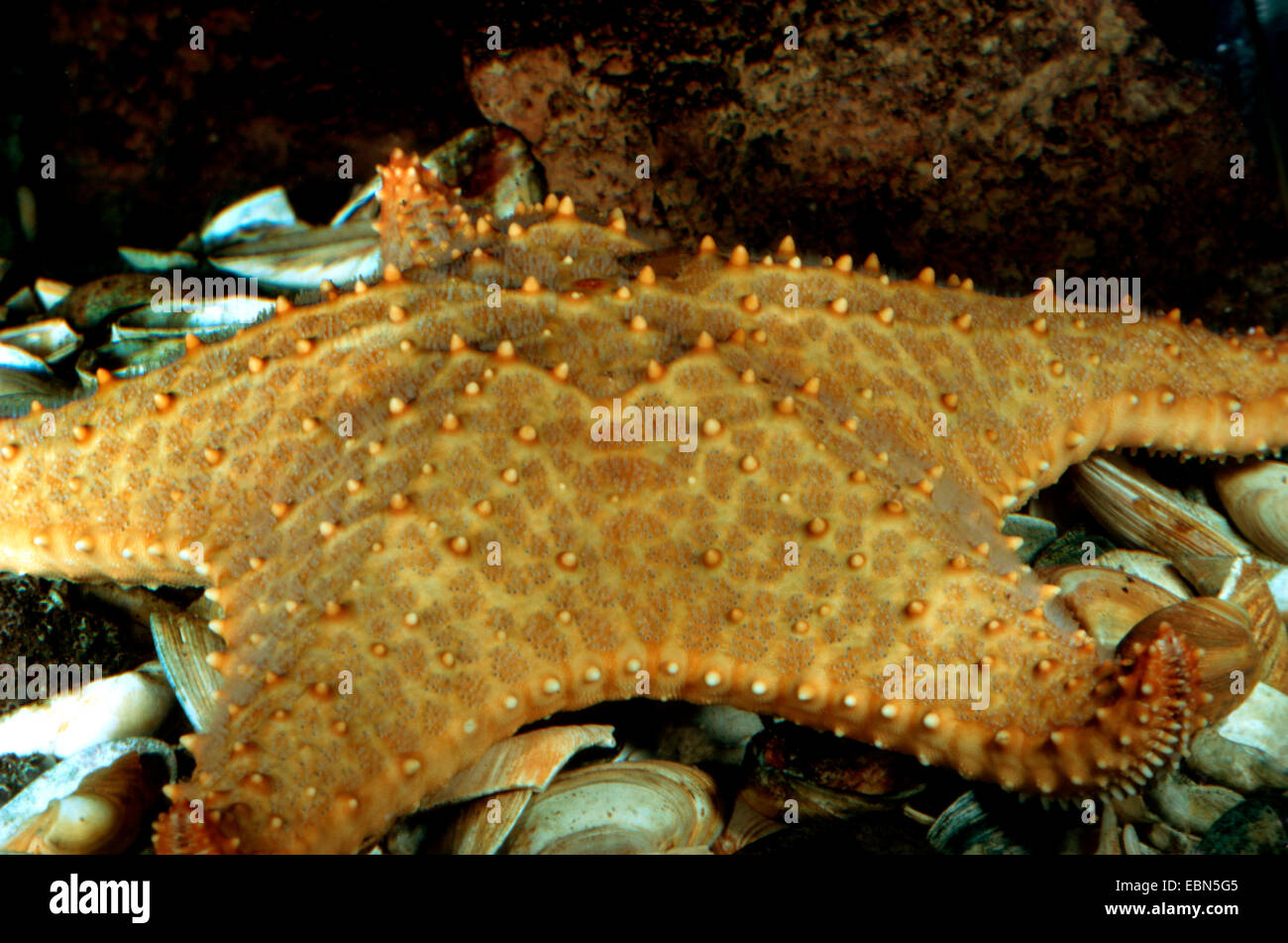Pentaceraster mamillatus (Pentaceraster mamillatus), sitting on the sea bed on the remains of eaten sea shells - Stock Image
