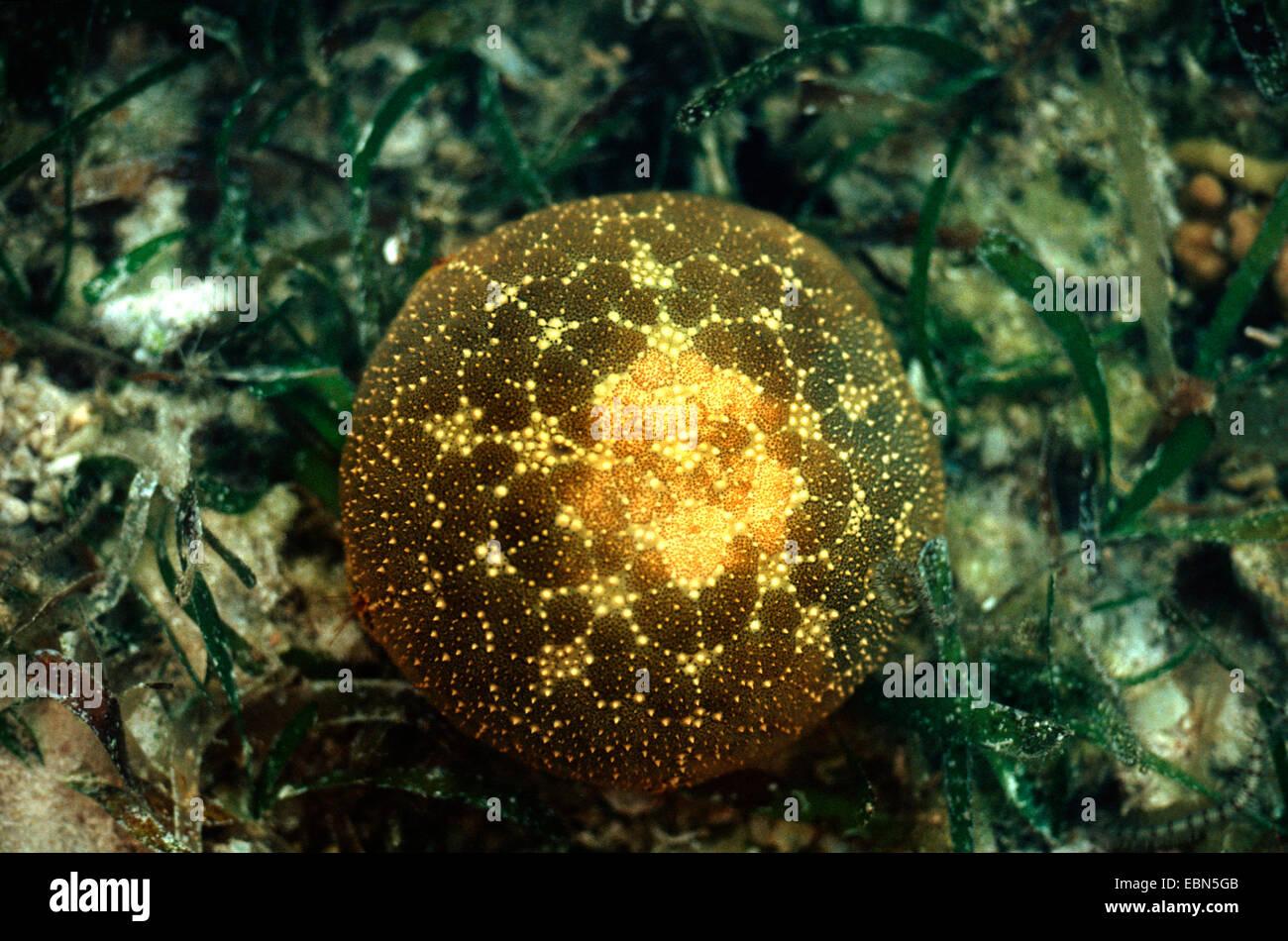 pincushion star, pincushion starfish (Culcita spec.), sitting on the ocean ground - Stock Image