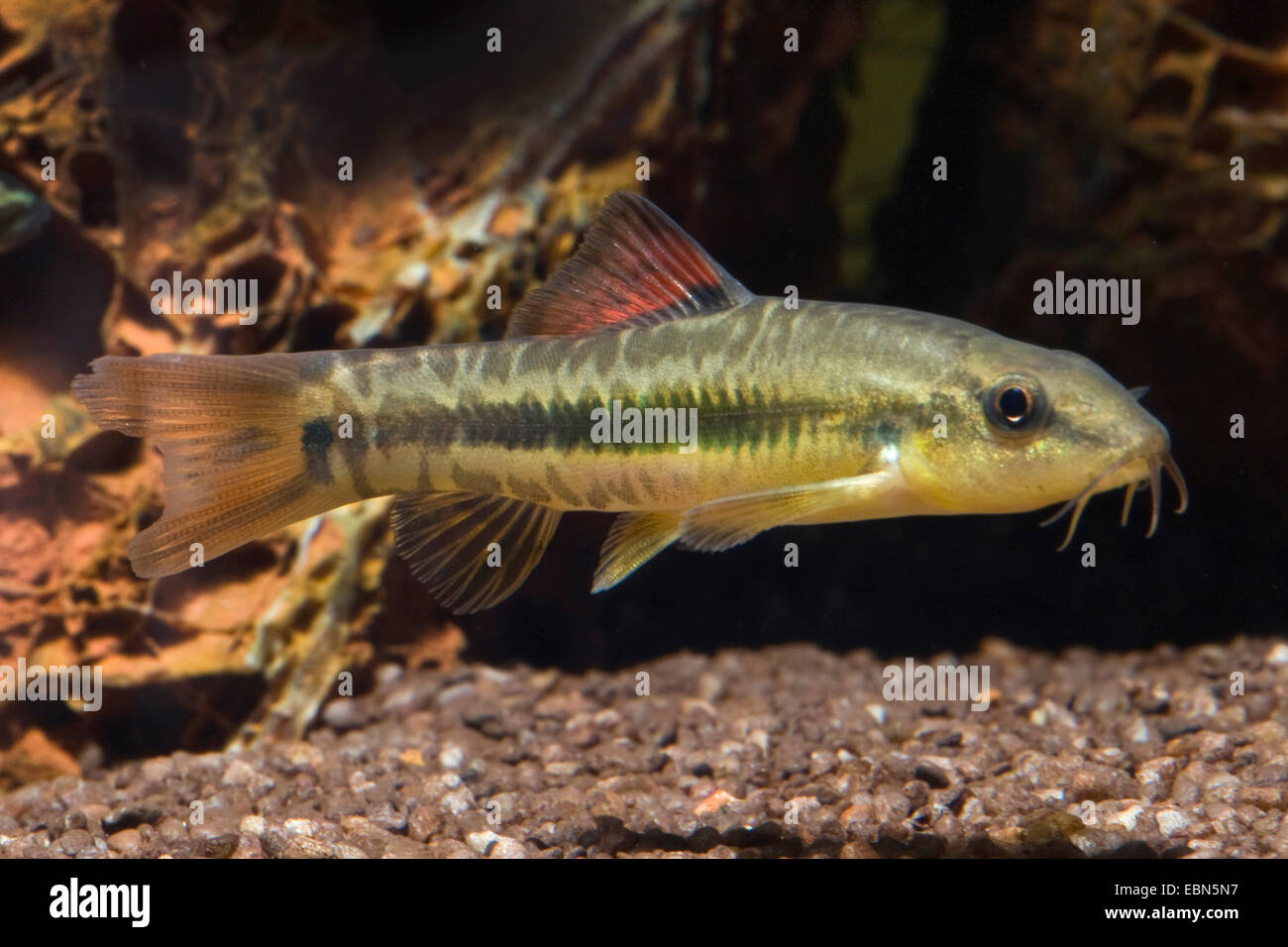 Rainbow Loach (Traccatichthys pulcher), swimming - Stock Image