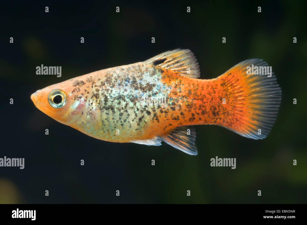 southern platyfish, Maculate Platy (Xiphophorus maculatus), breed Blue Red-tail - Stock Image