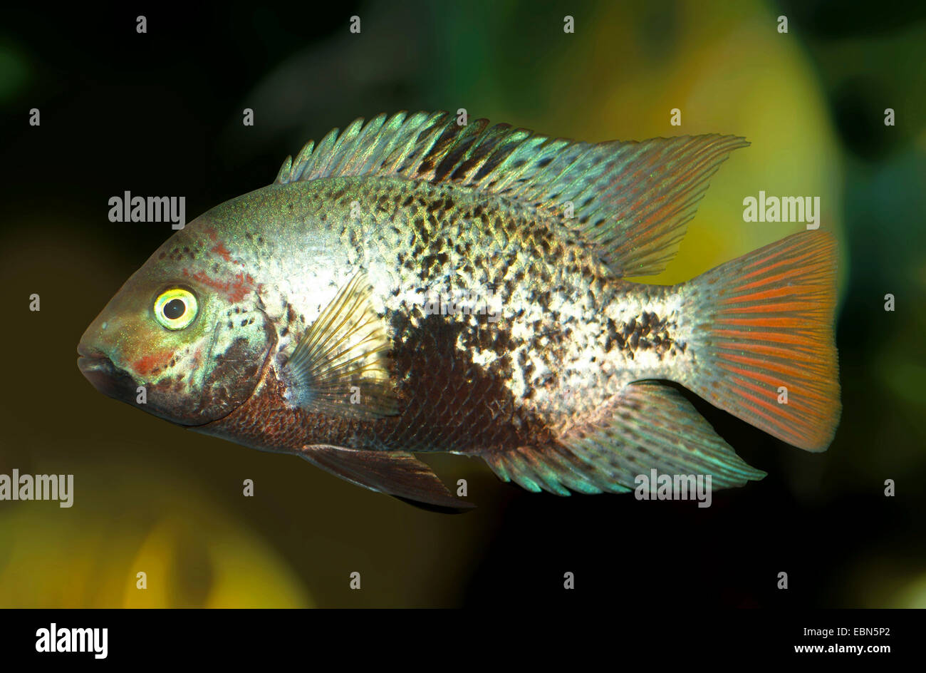Spotted Belt Cichlid, Black Belt Cichlid (Vieja maculicauda), swimming - Stock Image