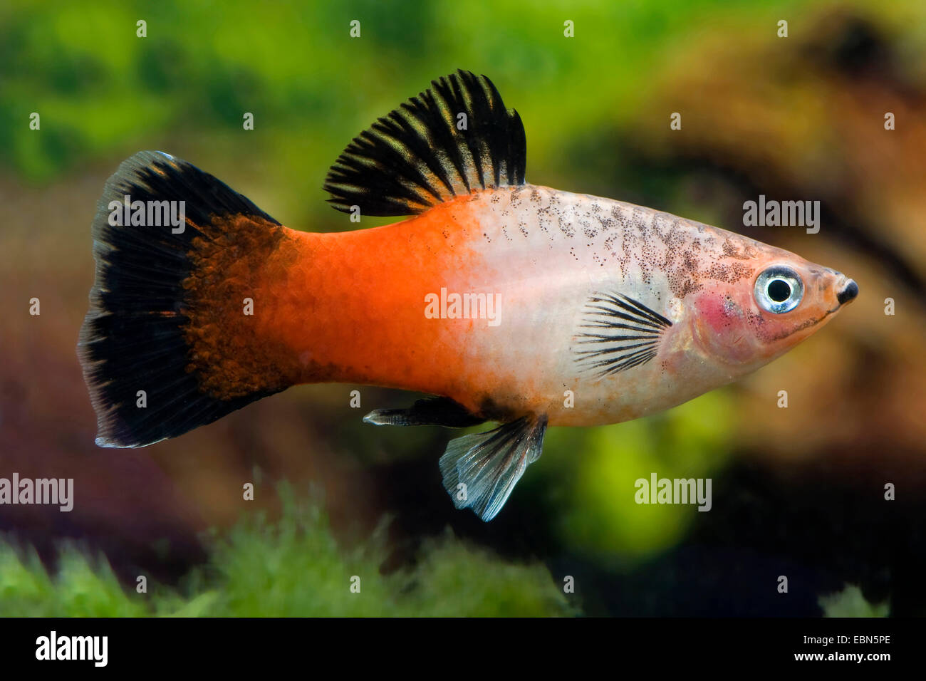 southern platyfish, Maculate Platy (Xiphophorus maculatus), breed Showa Tricolor - Stock Image