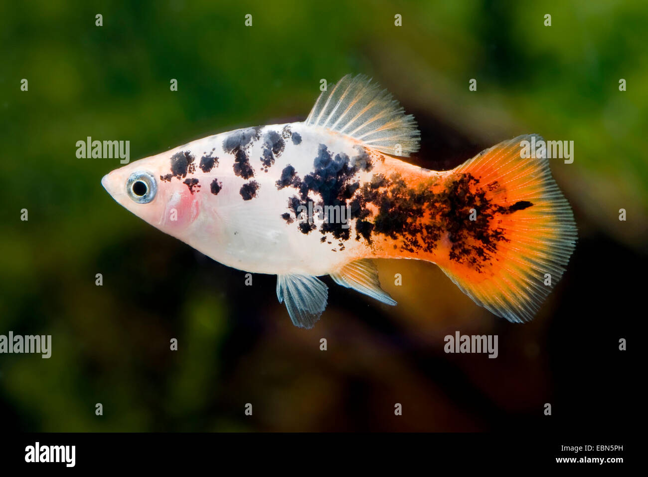 Southern Platyfish Maculate Platy Xiphophorus Maculatus