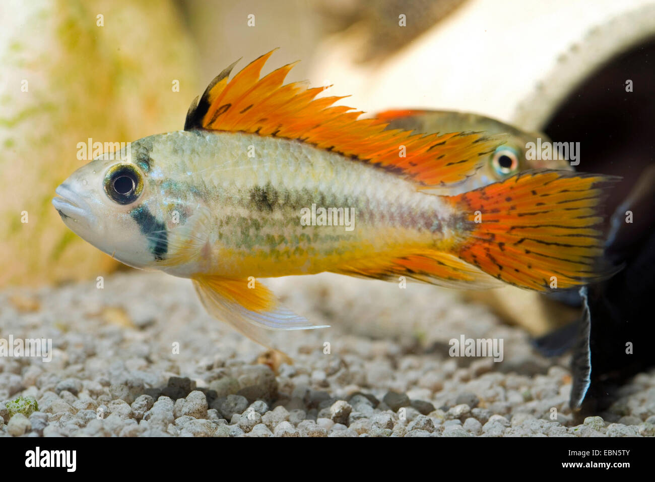 Cockatoo dwarf Cichlid (Apistogramma cacatuoides), breed Double Red - Stock Image