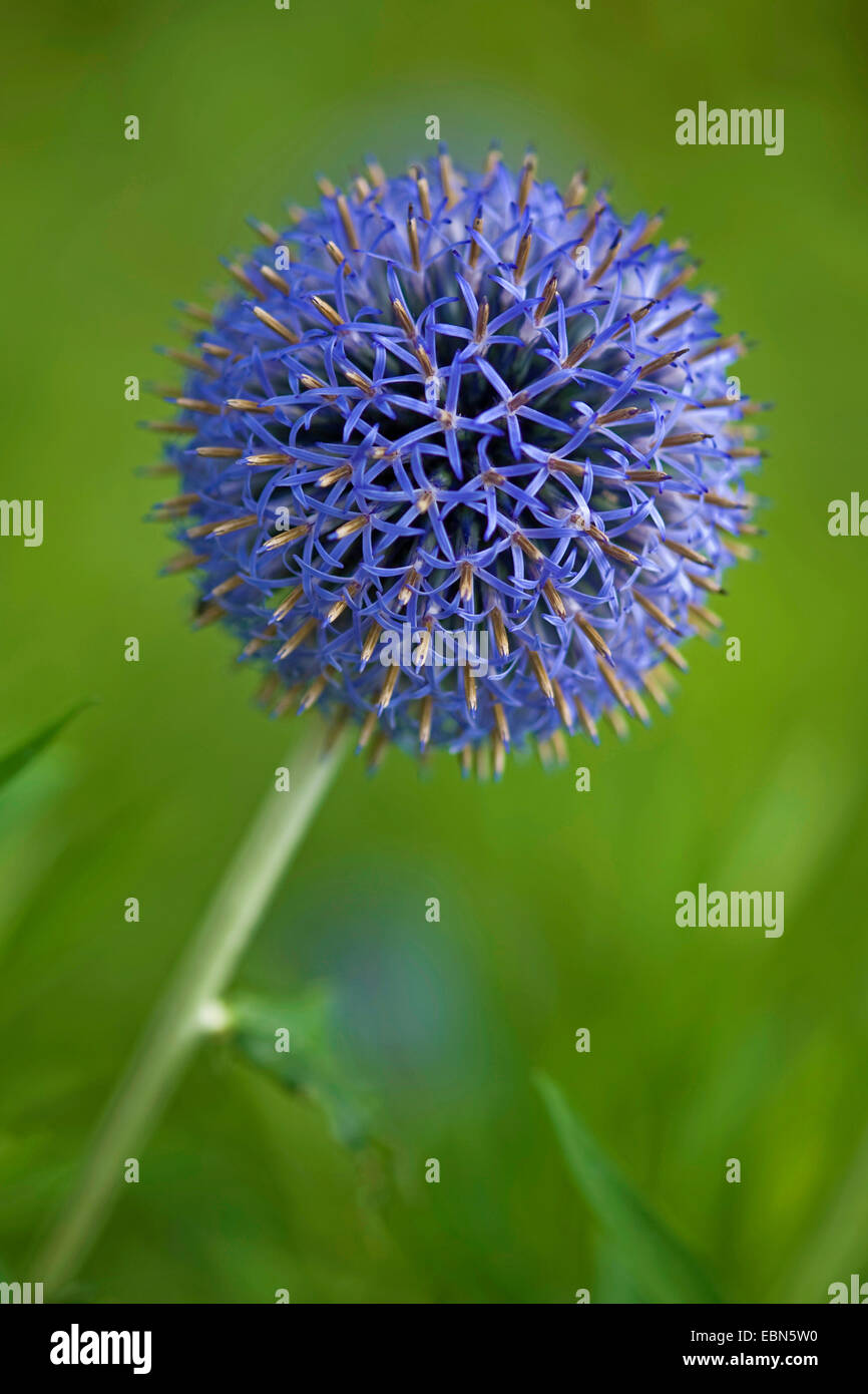 Globe thistle (Echinops spec.), blooming - Stock Image