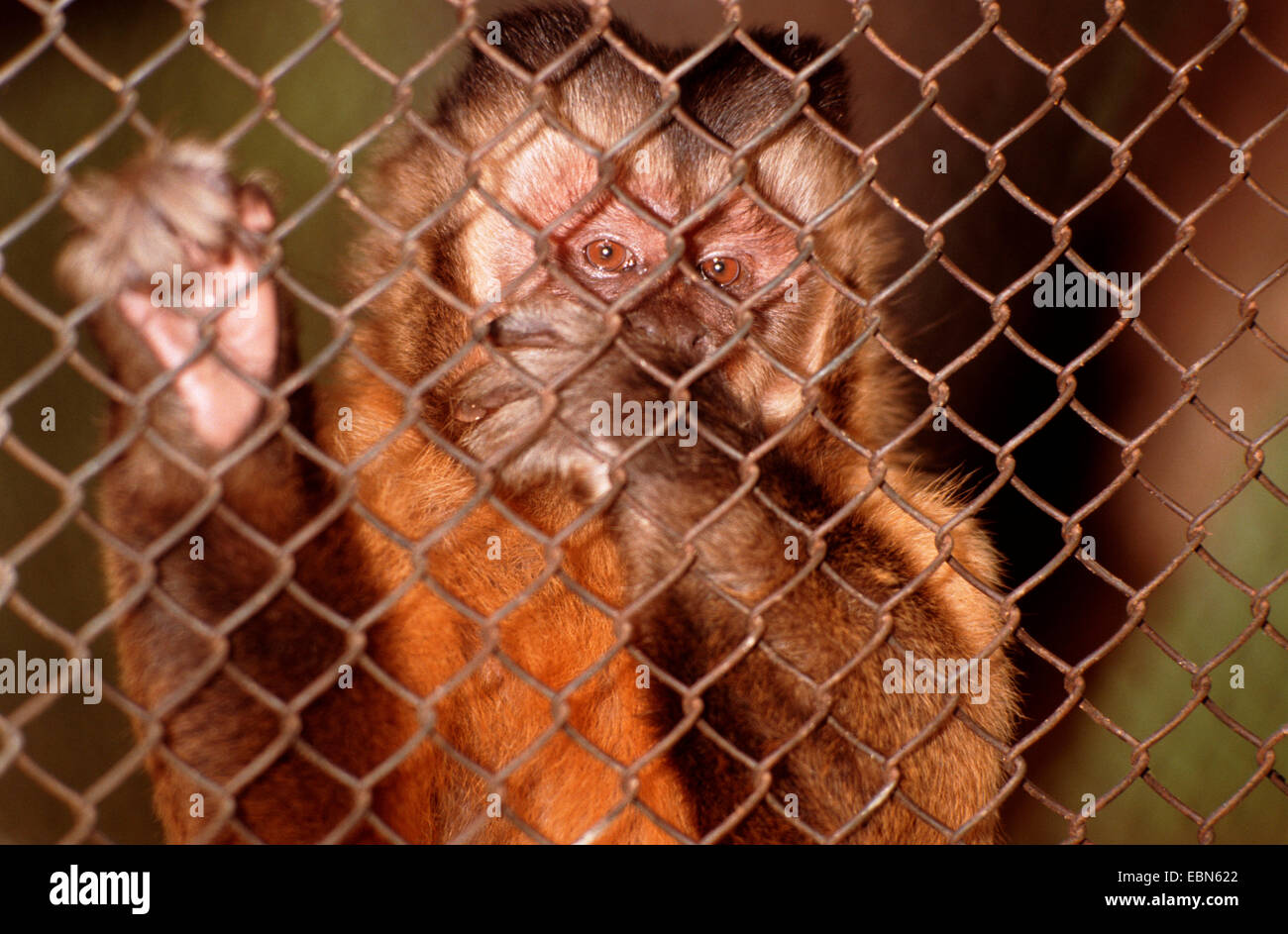 Black-Capped Capuchin, Brown-Capuchin Monkey (Cebus apella), behind a fence Stock Photo