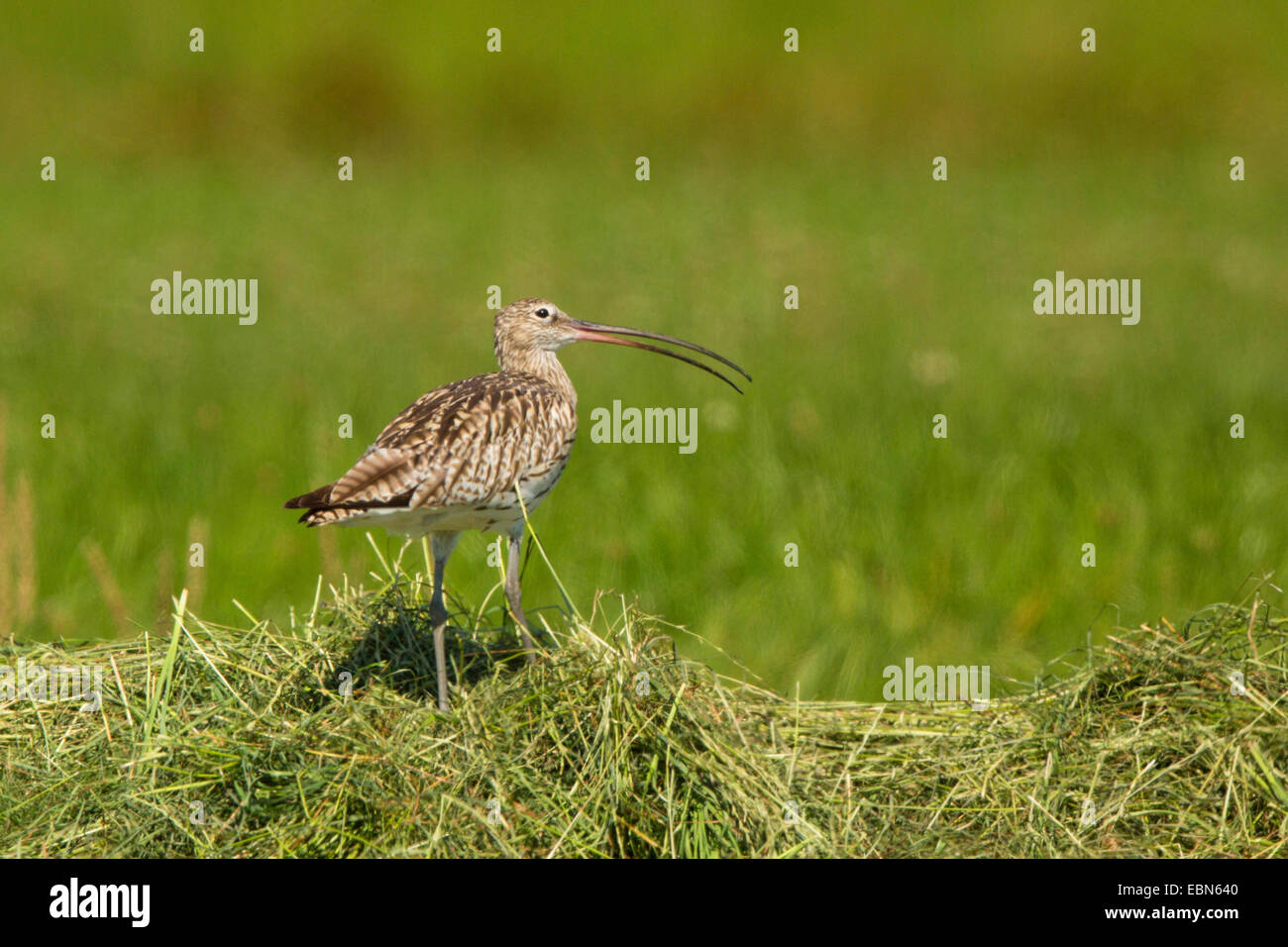 western curlew (Numenius arquata), on hay, calling, Germany, Bavaria, Isental - Stock Image