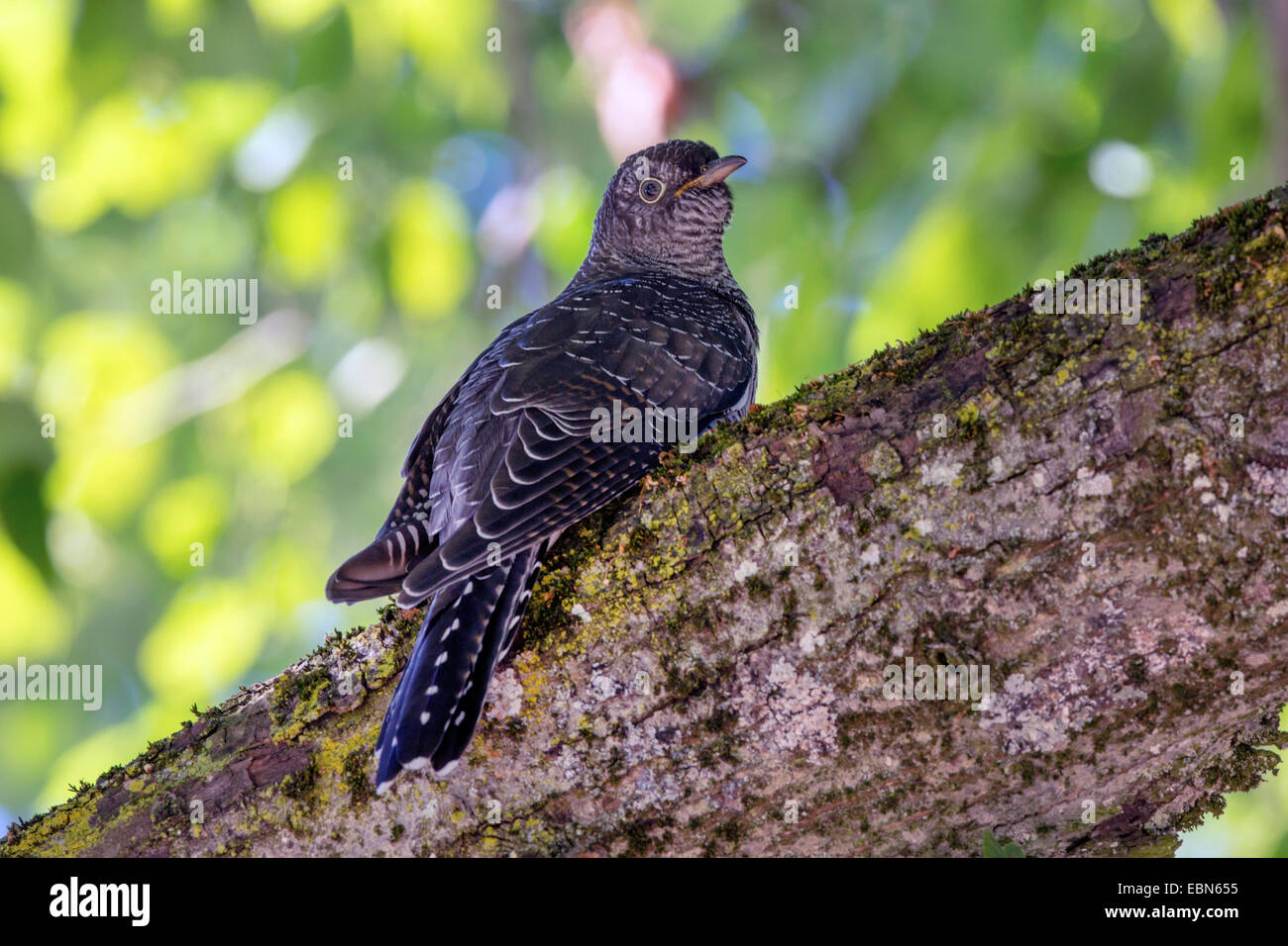 Eurasian cuckoo (Cuculus canorus), on a bvranch, Germany, Bavaria - Stock Image