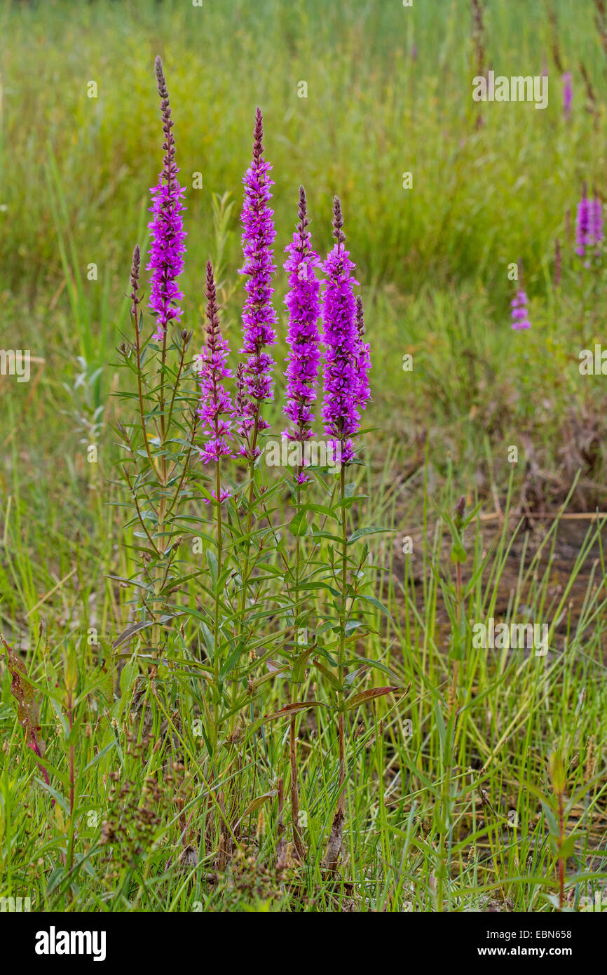 purple loosestrife, spiked loosestrife (Lythrum salicaria), flowering in a meadow, Germany, Bavaria - Stock Image