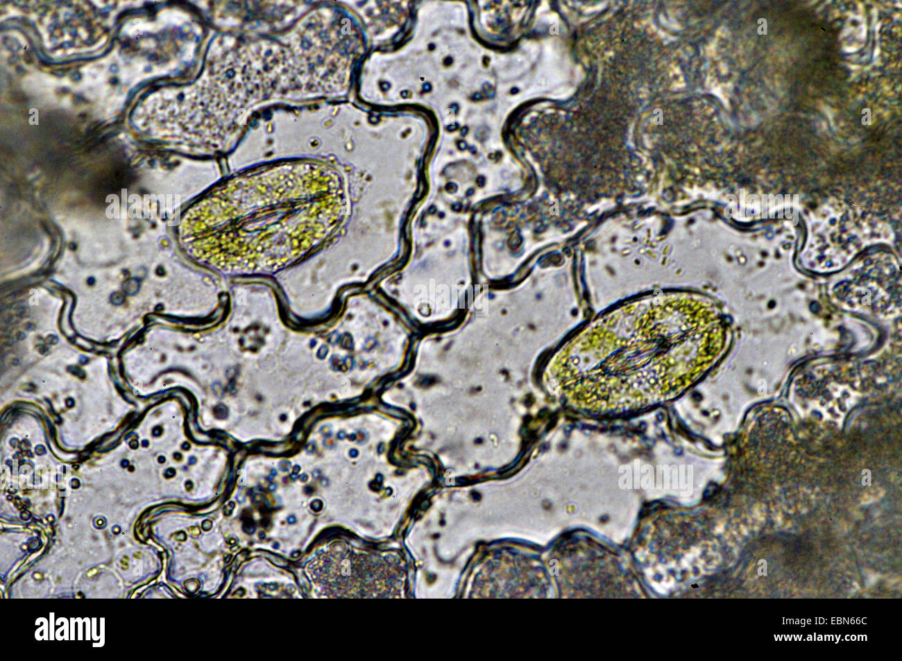 Stomata from the leaf of a windo plant - Stock Image