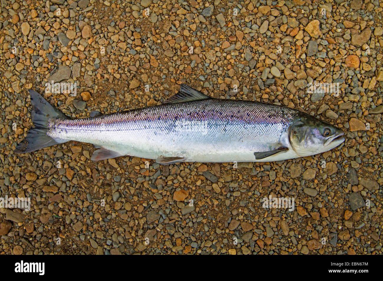 Atlantic salmon, ouananiche, lake Atlantic salmon, landlocked salmon, Sebago salmon (Salmo salar), smolt, Ireland, - Stock Image