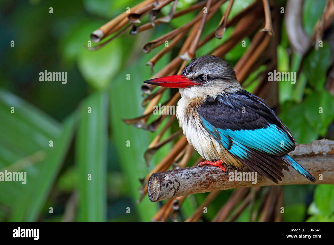 brown-hooded kingfisher (Halcyon albiventris), male sitting in a bush, South Africa, St. Lucia Wetland Park - Stock Image