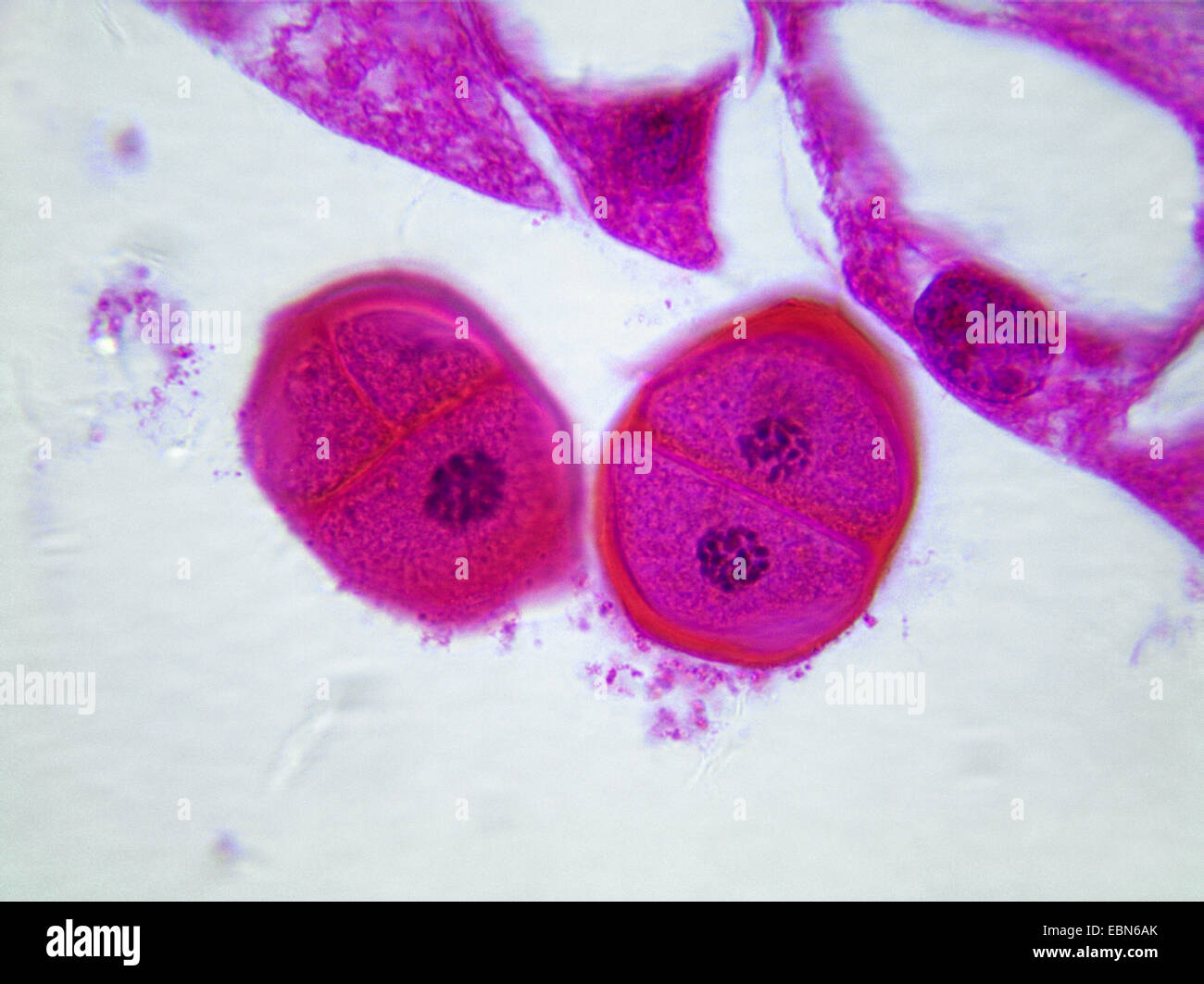 lily (Lilium spec.), cross section of the stamen of an lily with cell divisions, 1000 x - Stock Image