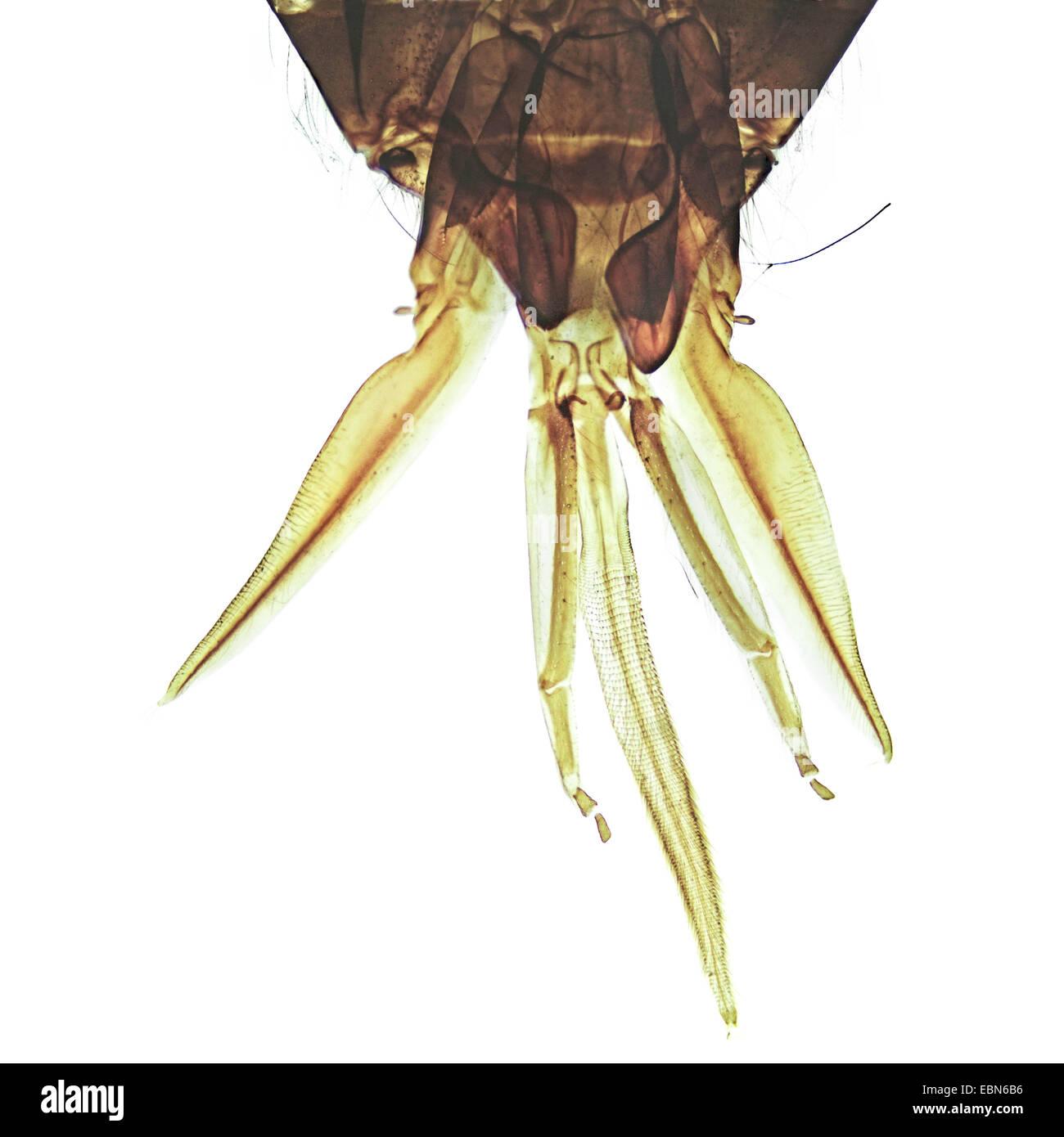 honey bee, hive bee (Apis mellifera mellifera), mouthpart of a honex bee, 40 x - Stock Image