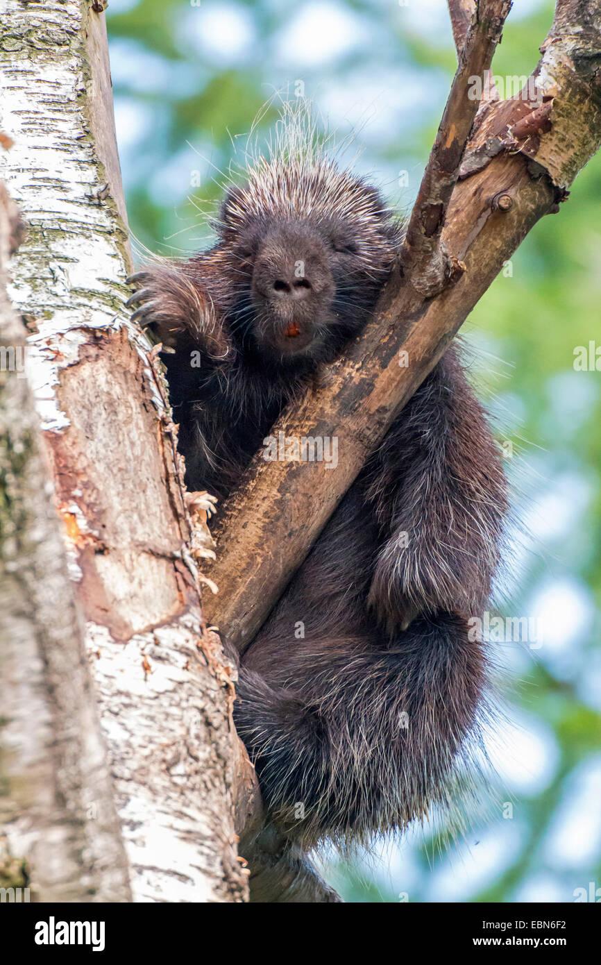 North American porcupine (Erethizon dorsatum), sleeping in a branch fork Stock Photo