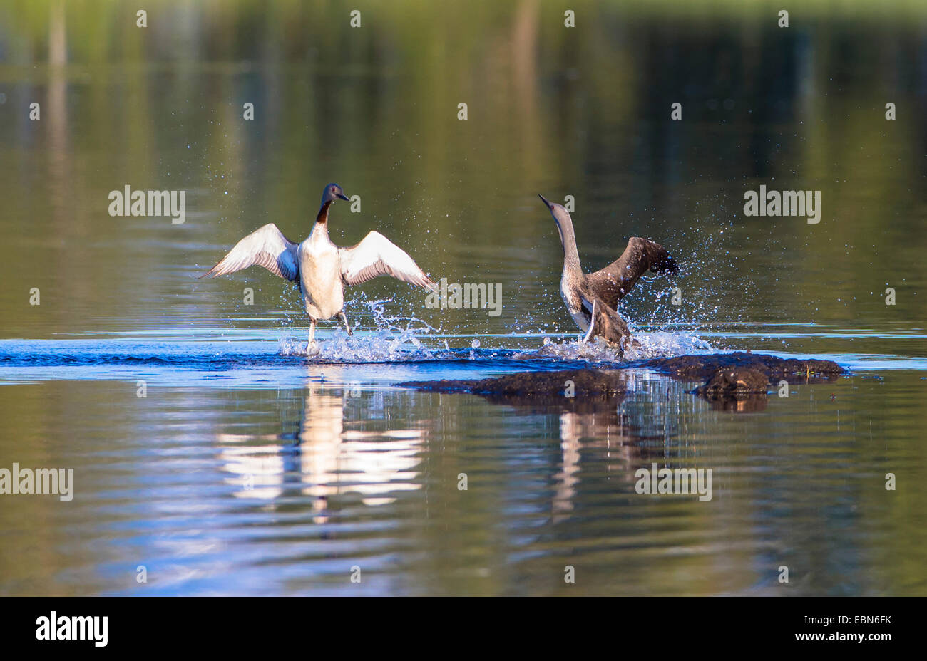 red-throated diver (Gavia stellata), two rival red-throated loons on the water, Norway, Troms - Stock Image
