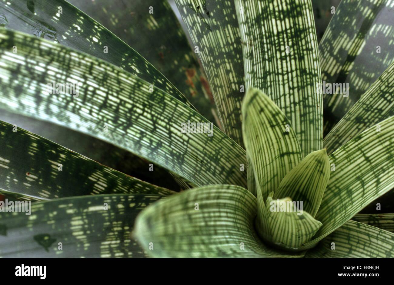 Vriesea (Vriesea fenestralis), leaf rosette - Stock Image